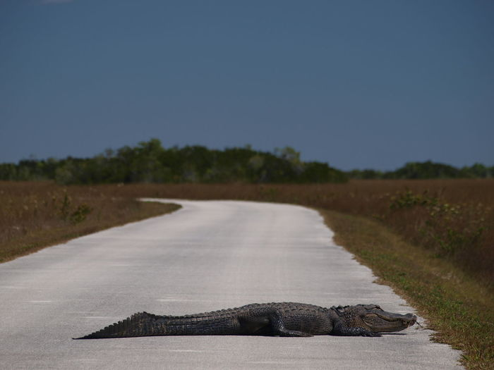 Alligator on empty road against clear sky