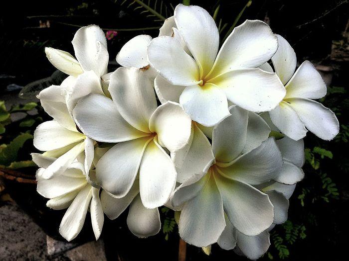 White Flower White Album