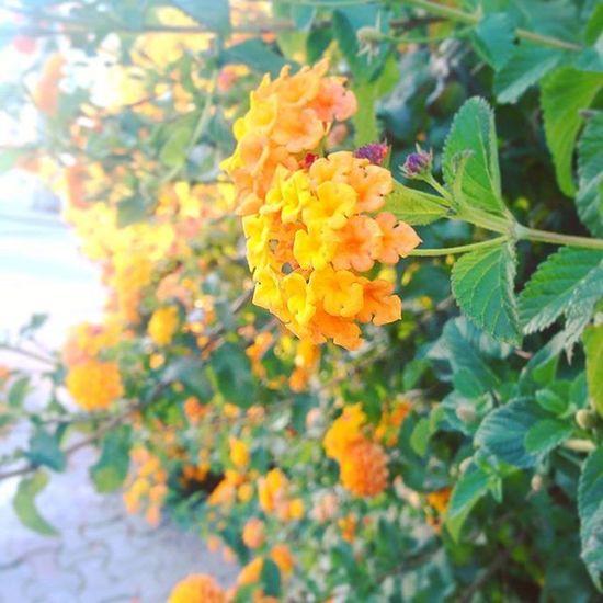 VSCO Vscocam Morning Gutenmorgen Gunaydin Flowers Flowerstagram Beutifulday Yellow Green View Flowerpower çiçek Street Sunshine Bodrum Gümbet
