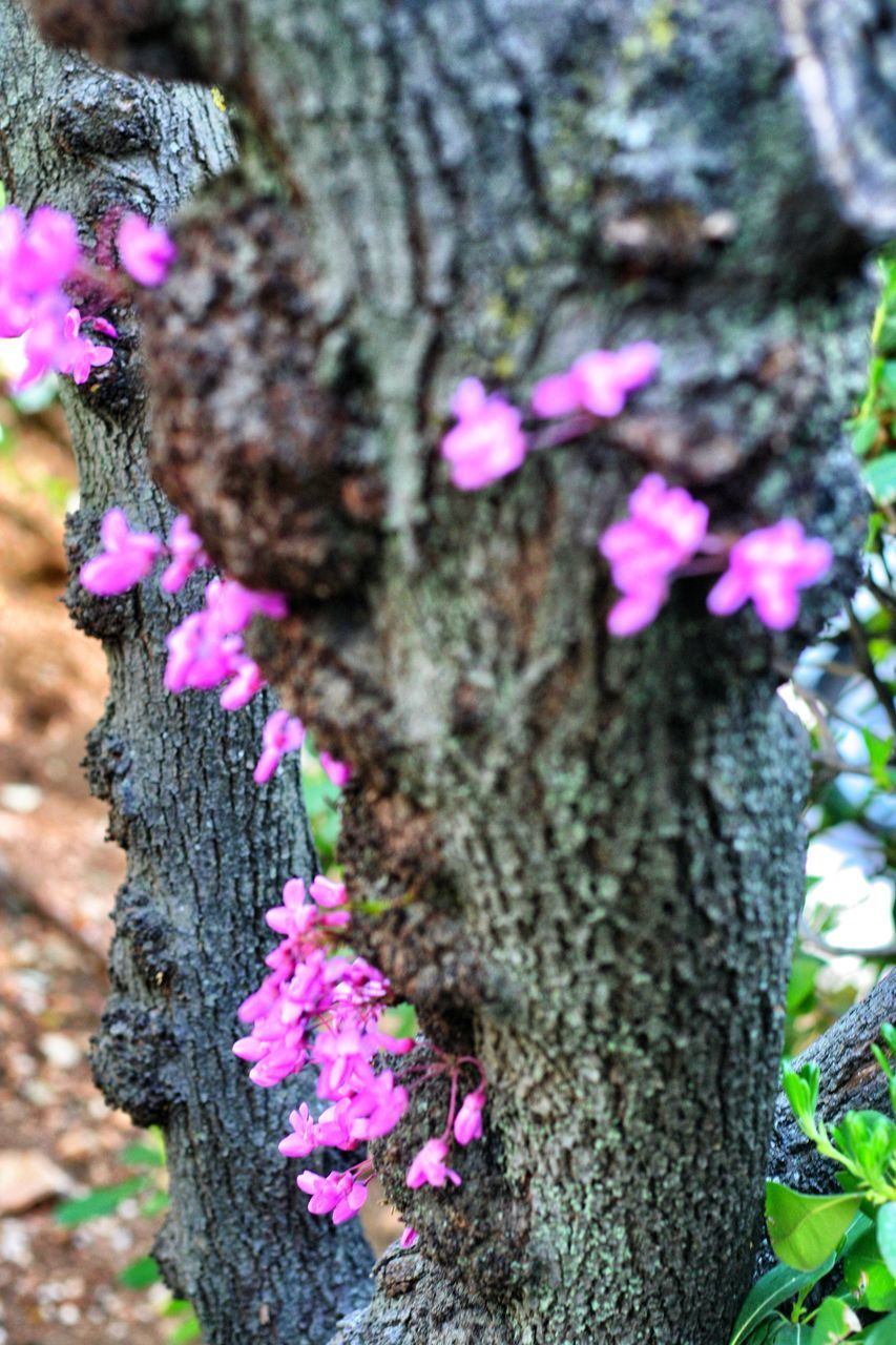 tree trunk, pink color, growth, tree, nature, flower, fragility, beauty in nature, day, no people, outdoors, close-up, purple, bark, focus on foreground, textured, lichen, plant, freshness, blooming