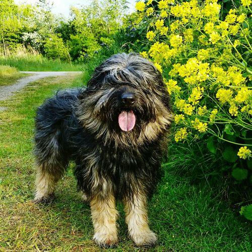 Bentjesgosaugustin Gos D'atura Nature Landscape Beauty #flower #spring #happiness Dog Walking I Love My Dog Mydog Holidays Texel