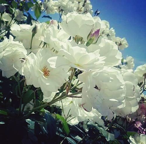 Nature Growth Flower Freshness Plant Beauty In Nature Outdoors Thorns🌹 Rose Garden Perfect Nature Perfection❤❤❤ Blooming Rose White Rose Blue Sky Clear Sky Beautiful Day Petal