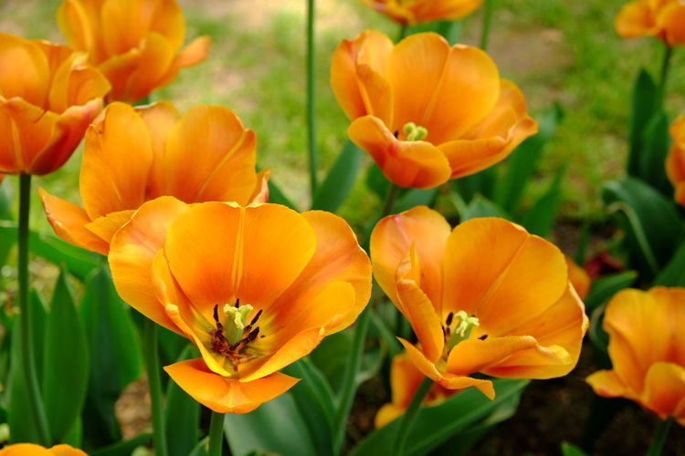 Floralia Brussels 2019 - Outdoors No People Nature Inflorescence Growth Flower Head Close-up Freshness Plant Petal Beauty In Nature Fragility Vulnerability  Flower Flowering Plant Tulip Tulips Spring Springtime Orange Color Flower Exhibition