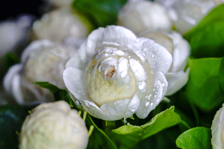 Close-up of wet white rose flower
