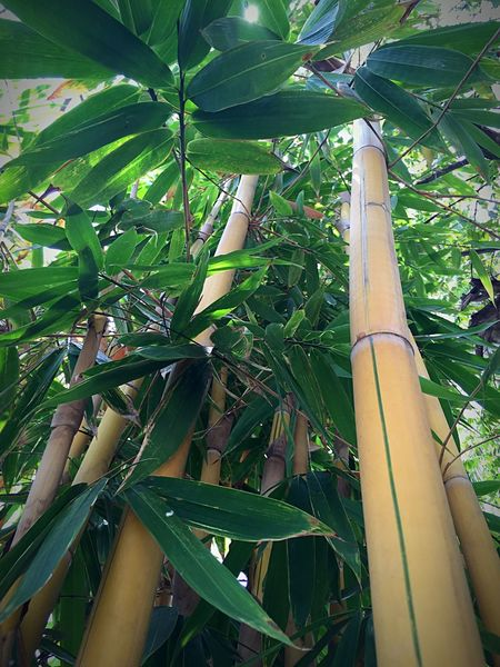 Flowers,Plants & Garden Greenery IPhoneography Iphone6 PhonePhotography Bamboo Yellow Bamboo Beautiful Nature Nature Photography