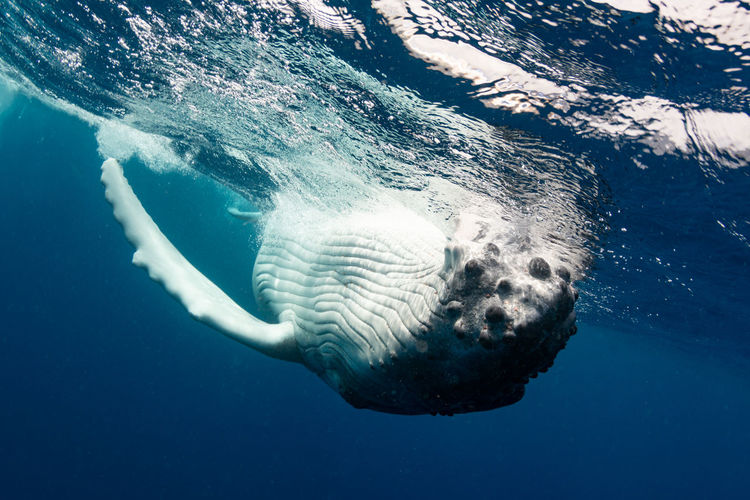 Underwater view of humpback whale swimming in sea