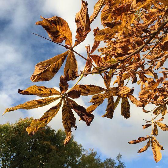 Autumn Leaves Horse Chestnut Tree October Blue Sky Nature Close Up Leaf