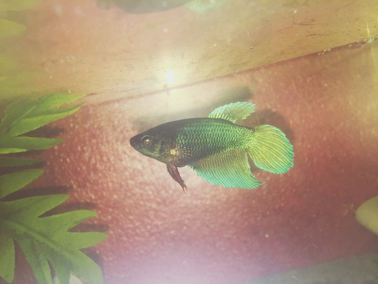 Female Betta Female Betta  Betta Fish Bettafish Betta Lovers Bettafishcommunity Bettas Bettasplendens One Animal Animal Themes Animals In The Wild Nature Green Color No People Day Close-up Leaf Outdoors Underwater UnderSea