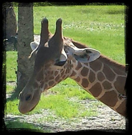 Giraffe at Jacksonville Zoo and Gardens Giraffe Zoo Animal Portrait Jacksonville Zoo Jacksonville Florida