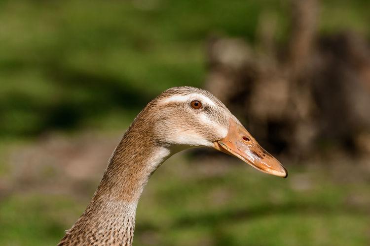 a runner duck Beek Duck Ducks Focus On Oregground Garden Laufenten No People Runnerduck Spring EyeEmNewHere