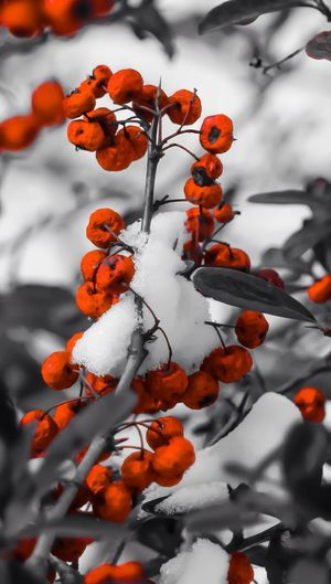 Snow covered berries Nature Berries Snow Winter