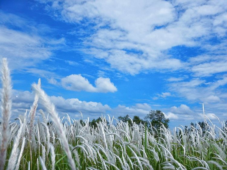 Sky Beauty In Nature Cogon Grass Love Nature Blue First Eyeem Photo
