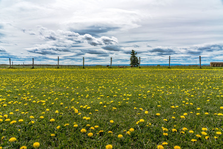 Dandelion field in Alberta Canada Alberta Canada Agriculture Beauty In Nature Cloud - Sky Electricity  Environment Field Flower Flowering Plant Freshness Growth Land Landscape Nature No People Outdoors Plant Power Supply Rural Scene Scenics - Nature Sky Springtime Tranquil Scene Tranquility Yellow