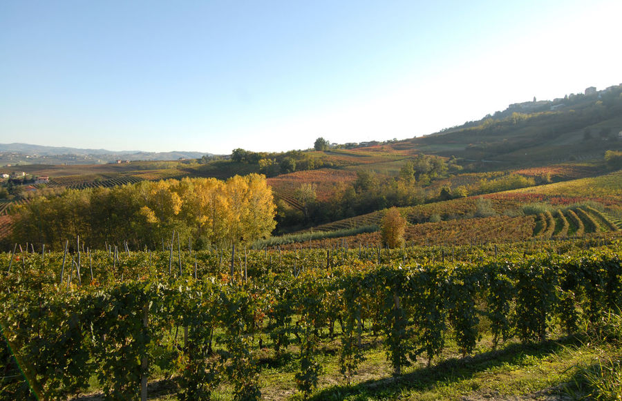 The Langhe have amazing colors in them. Vineyards, orchards, woods and scent of must, wines from Piedmont Barolo City Barolo Vineyards Barolo Wine Langhe Piedmont Italy Vineyards  VineyardsInAutumn Agriculture Autumn Barolo Barolo Castle Barolo Wineyards Barolowine Day Field Growth Landscape Langhe Italy Nature No People Outdoors Plant Scenics Vineyards In A Row Vineyards In Autumn