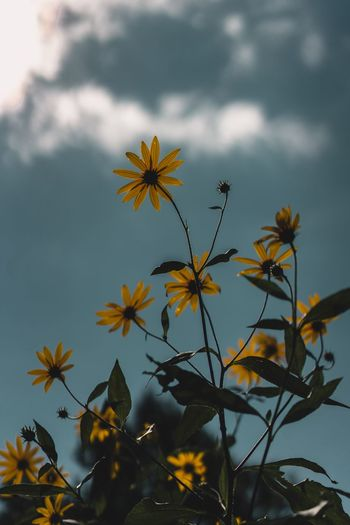 Fall Leaves Farm Fall Beauty Sunflower Fall Colors Fall Colors Plant Growth Beauty In Nature Freshness Flowering Plant Fragility Vulnerability  Petal Focus On Foreground No People Day Flower Head Inflorescence Nature Close-up Sky Outdoors Flower Cloud - Sky Yellow