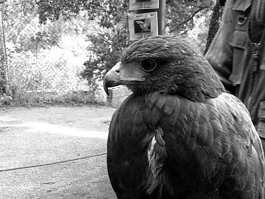 Eagle Animal Relax Nature Wild Espectacular Aguila PrimerPlano Bird