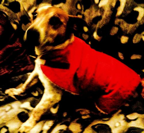 Stupid Butch with his old man coat on. Awww the lickul faaaace!! Dog Dog Coat Old Man Pet Doggie Walkies Dog Fashion Manchester