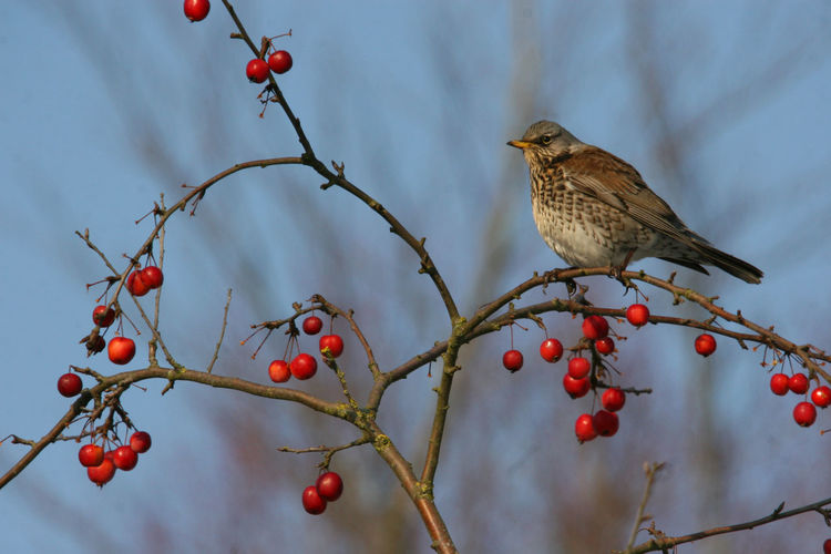 Animal Themes Animal Wildlife Animals In The Wild Bird Bird In Berry Tree Bird In Tree Bird In Tree With Berries Bird In Wild Branch British Wildlife British Winter Wildlife Fieldfare Fieldfare Eating Berries Fieldfare In Fruit Nature No People Outdoors Perching Red Songbird  Tree Wildlife Winter Winter Wildlife