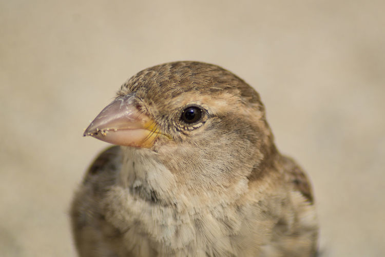 Iago Sparrow Animal Themes Animal Wildlife Animals In The Wild Atlantic Sprrow Beak Bird Bird Of Prey Close-up Day Focus On Foreground Nature No People One Animal Outdoors Passerine Rufous-backed Sparrow Sparrow Young Bird