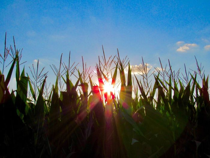 Growth Nature Plant Outdoors Field Sky Sunlight Day No People Beauty In Nature Close-up Freshness Country Countryside Indiana MidWest Corn Corn Field Sunset Reflection
