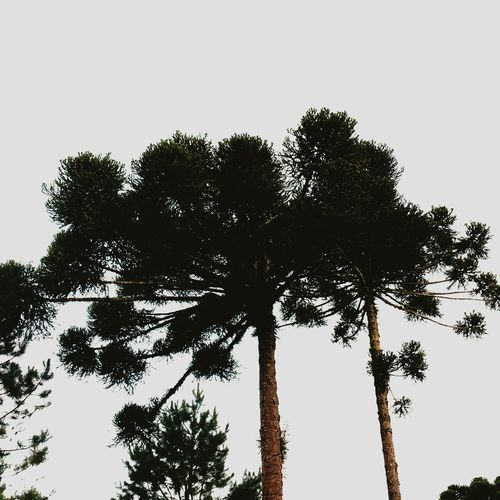 Tree Low Angle View Pine Tree Sky Tree Trunk Forest Nature Outdoors No People Growth Day Branch Tree Area Beauty In Nature