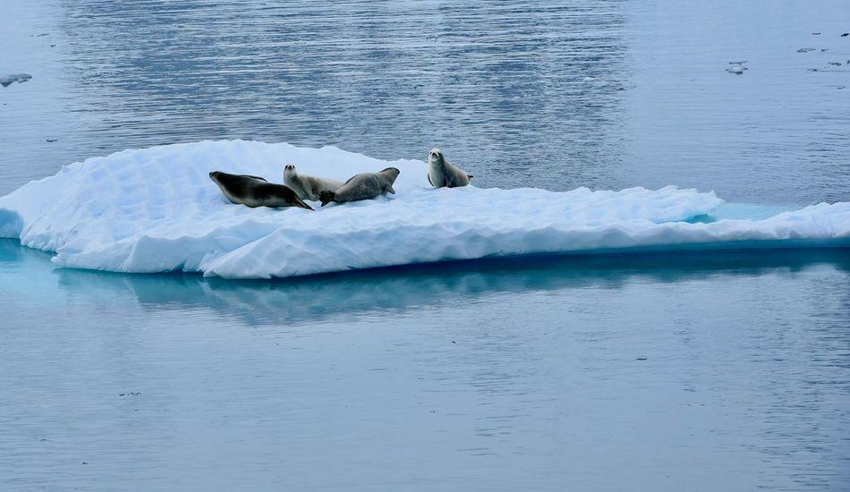 Animals In The Wild Antarctic Antarctic Peninsula Antarctica Ice Iceberg Icebergs Leopard Seal Ocean Sea Seals Water Weddell Seal