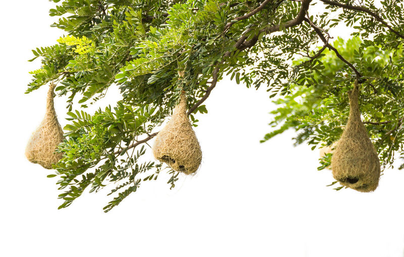 Baya weaver nest Tree Plant Green Color No People Growth Nature Branch White Background Hanging Beauty In Nature Plant Part Low Angle View Leaf Wellbeing Outdoors Healthy Eating Close-up Day Baya Weaver Baya Weaver Nest Nest