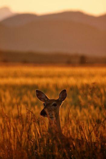 Deer Golden
