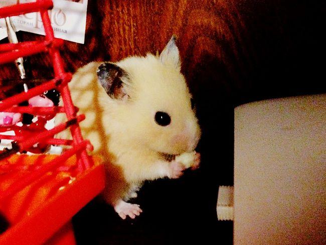 Home My Hamster Hamster Love Hamster ♡ 😚