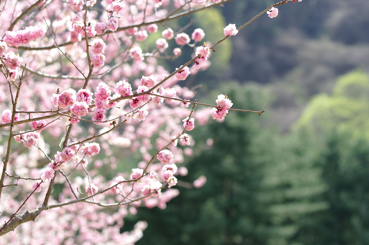 flower, nature, growth, beauty in nature, pink color, fragility, tree, branch, focus on foreground, twig, blossom, day, no people, freshness, outdoors, springtime, plant, close-up, blooming, flower head