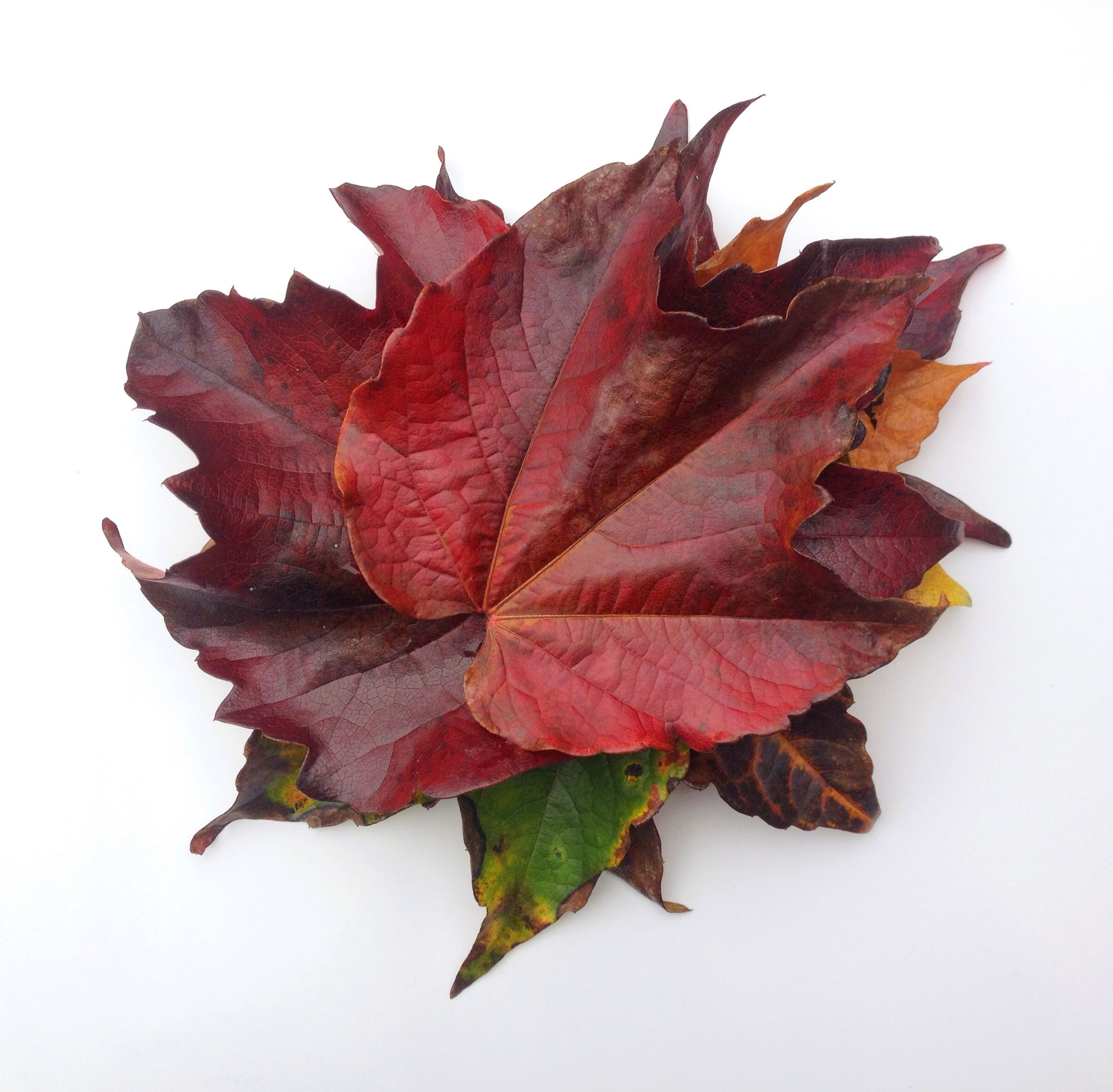 leaf, autumn, leaf vein, change, dry, close-up, leaves, season, maple leaf, aging process, natural pattern, studio shot, nature, white background, fragility, red, brown, no people, single object, still life