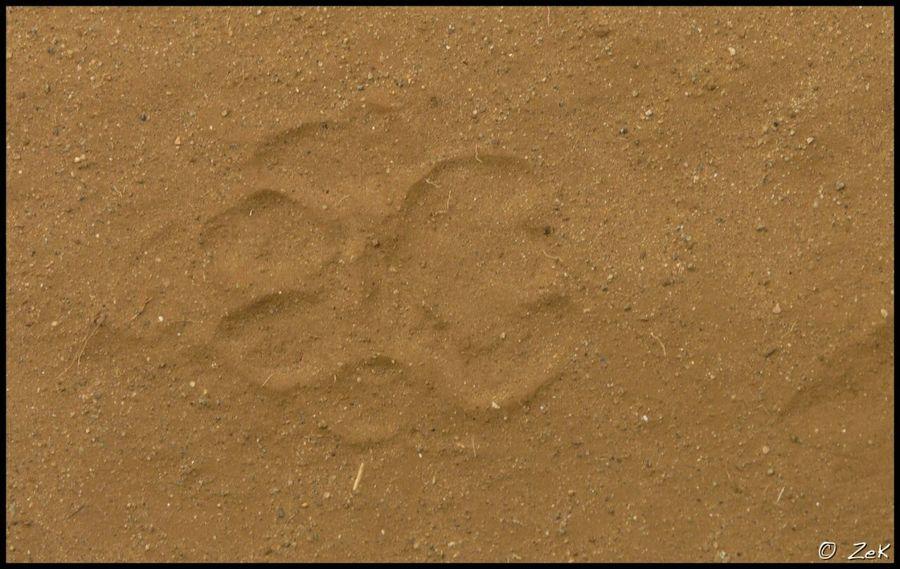 Lion Impronta