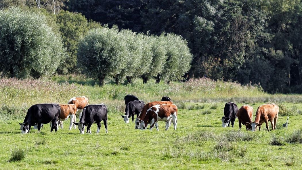 Some More Cows and an Heron Amsterdamse Bos