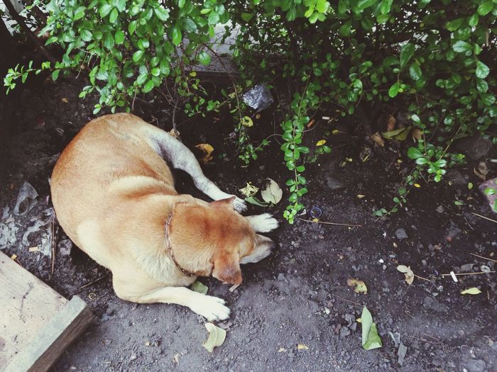 Sleepy dog Thai Street Dog Thai Dog Nap Hot Day Under The Bush Bangkok Thailand. Sleepy Happy