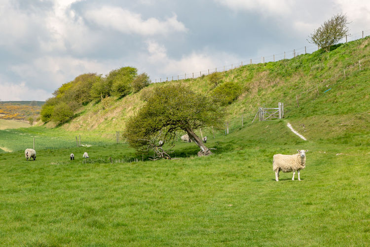Sheep in the South Downs in Sussex, on a sunny spring day Mammal Animal Themes Landscape Animal Grass Environment Plant Field Domestic Animals Vertebrate Domestic Land Livestock Nature Green Color No People Outdoors Herbivorous Sheep Sussex South Downs Cloud - Sky Grazing