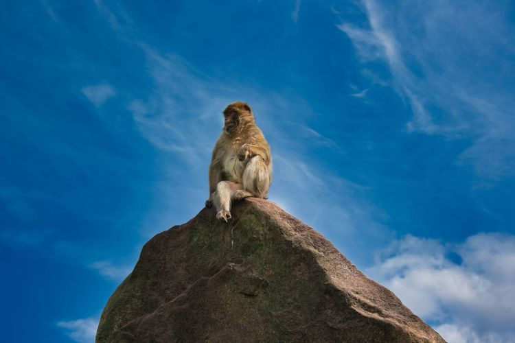 Alpha leader sitting on a rock. watching around what's going on. surrounded by a blue sky.