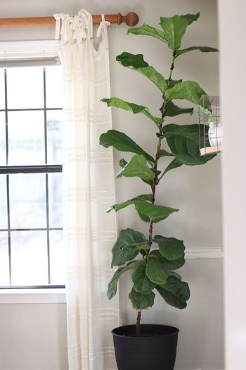 Fiddleleaf fig by a window Fiddle Fig Tree Fig Fiddleleaffig Green Color No People Flower Pot Window Sill Day Houseplant Potted Plant Freshness Nature