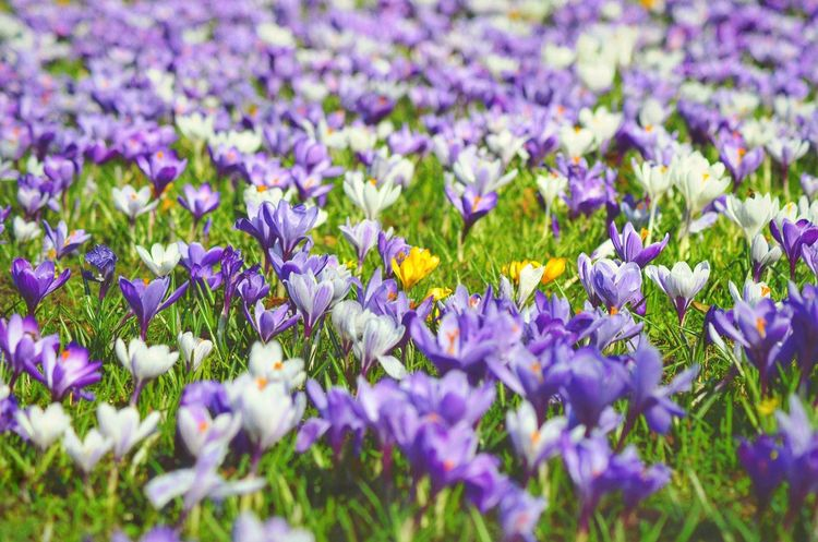 Spring Is Here Spring Meadow Spring Springtime Spring Flowers Spring Into Spring Spring Has Arrived Purple Growth Nature Flower Beauty In Nature Freshness Plant Outdoors Flower Head Field Fragility No People Grass Krokusblüte Crocus Blossom Crocus Crocus Flower Northgermany
