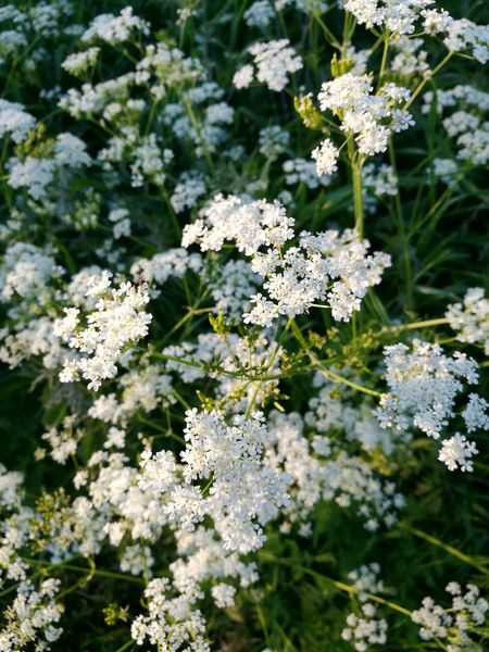 Plant Nature Outdoors Close-up Flower No People Cow Parsley White Green HuaweiP9