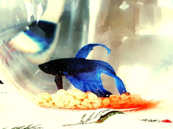 betafish Beta Fish Betabeauty Blue People Day Outdoors Adults Only Water UnderSea Animal Themes