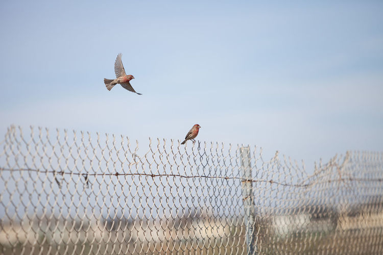 Finches Flying And Perching Over Chainlink Fence Against Sky