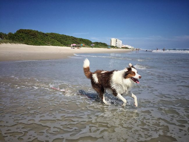 Australian Shepard on the beach Australian Shepherd  Melbourne Beach, FL Animal Themes Beach Dog Summer Fun Dogslife Beach Dog Rippled Sea Summer Shore