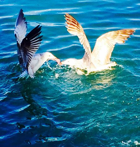 Fighting For Food Seagulls Mobile Photography Martılar Mobilephotography IPhoneography Bosphorus Bosphorus, Istanbul Boğaziçi