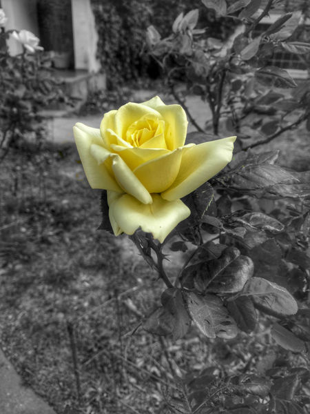 Flower Petal Fragility Yellow Freshness Nature Beauty In Nature Flower Head Nocolor Rosé Close-up Outdoors EyeEmArgentina PuertoMadryn B&w White Black Black & White