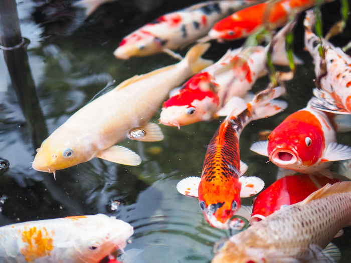 Animal Themes Animals In The Wild Close-up Day Koi Fish Nature No People Outdoors Water