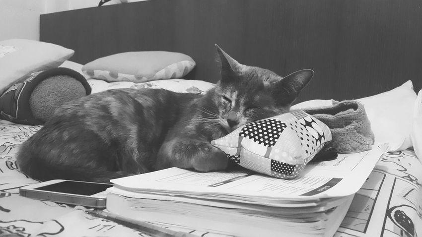 Cat Lazy Working Hard Time To Sleep Sleeping Cat