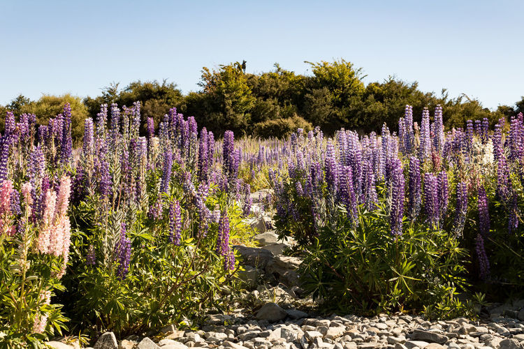 Lupins Lupin Wanaka New Zealand Scenery Plant Flower Purple Flowering Plant Growth Beauty In Nature Nature Lavender Land No People Vulnerability  Field Fragility Sky Tranquil Scene Outdoors Sunlight Lavender Colored Day Tranquility Flower Head Flowerbed
