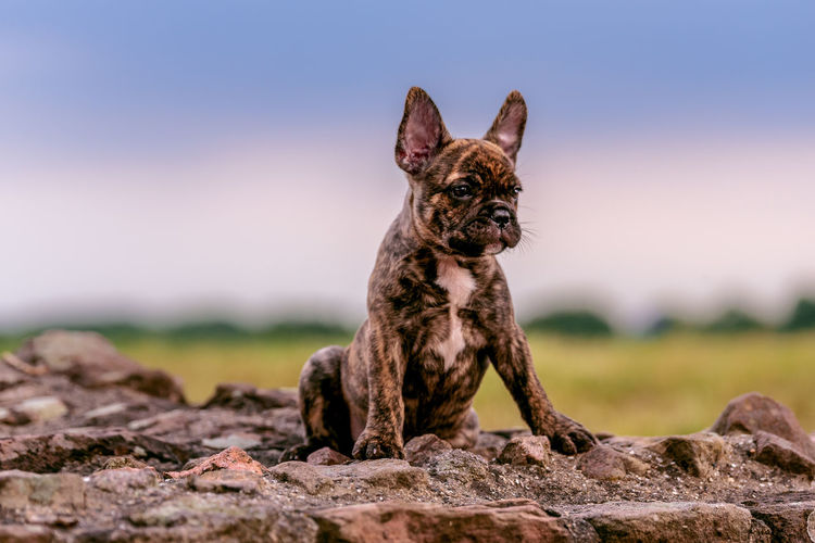 Nature Taking Photos Canine Dog Domestic Domestic Animals Focus On Foreground French Bulldog Looking Mammal Nature No People One Animal Pets Portrait Rock Rock - Object Small Solid