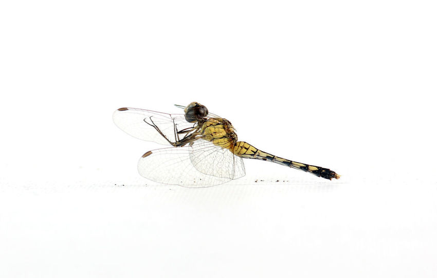 Insect Animal One Animal Animal Wildlife Animal Themes Spider Animals In The Wild White Background Animal Leg Portrait No People Nature Close-up Day Outdoors dragonfly Stay Still die Dead yellow Sad Say Goodbye Health Thailand Tour White Scene Macro Nature