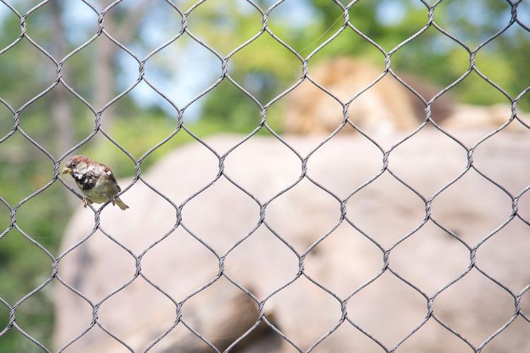 Bird and lion Chainlink Fence Protection Safety Focus On Foreground Outdoors Animal Themes Mammal Nature Zoo Animals  Zoophotography EyeEm Selects Eyeemphotography Zoo Day